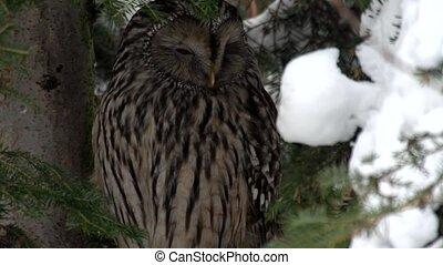 Ural owl - Strix uralensis