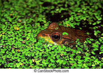 Green Frog in Illinois Wetland