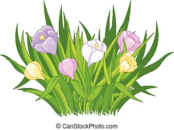 Crocus bouquet - Illustration of beautiful crocus bouquet