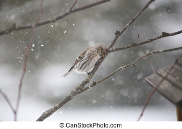 Tired Bird - A female common redpoll rubbing her head on a...