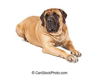 Large Mastiff Dog Laying - Giant 250 pound Mastiff breed dog...