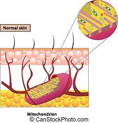 Mitochondrion scheme - Structure mitochondrion organelle...