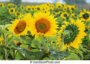 Agriculture stock image - Sunflower field
