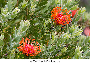 pincushion protea flowers and leaves