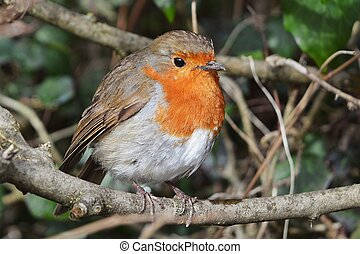 Robin - Close-up of a robin in a hedge