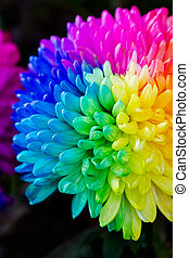 Colorful of rainbow Chrysanthemum flower on black background