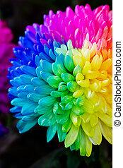 Colorful of rainbow Chrysanthemum flower on black background