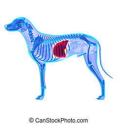 Dog Liver - Canis Lupus Familiaris Anatomy - isolated on...