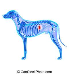 perro, vesícula biliar, anatomía, -, Canis,...