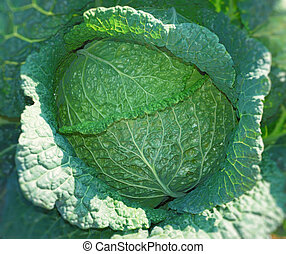 Savoy cabbage - Close up of a savoy cabbage head