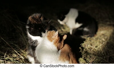 Cats in the hay - Cats lick each other in the hayloft