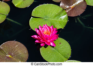 Purple Lilly in Dark Pond - A brilliant magenta water lilly...