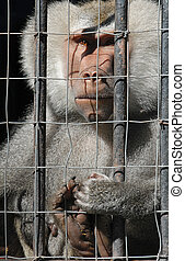 Mandrill monkey behind bars at the zoo - Mandrill monkey...