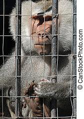 Mandrill monkey behind bars at the zoo - Mandrill monkey...