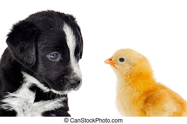 Cute puppy dog and a little yellow chicken on white...