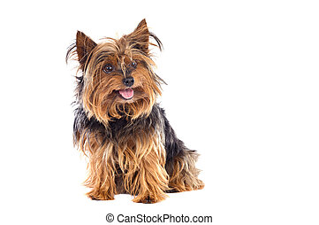 Small dog - Adorable small dog a over white background