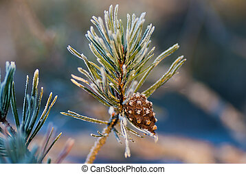 Pine cone - Frosty pine twig with brown pine cone in winter...