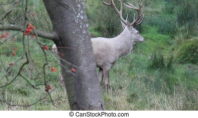 white red deer