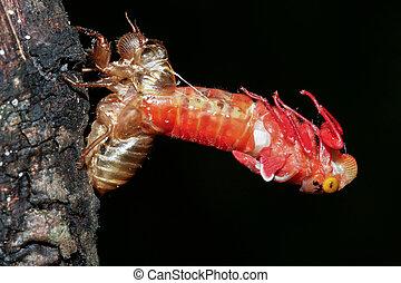 cigarra, (Hemiptera:, Cicadidae), Cambiar, su, piel,