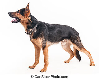 Shepherd on a white background - Beautiful young shepherd on...