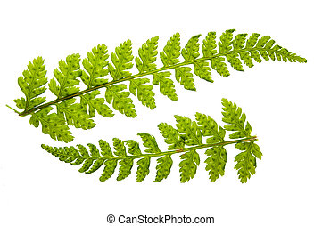 Fren - Two beautiful small fern leaf isolated over a white...