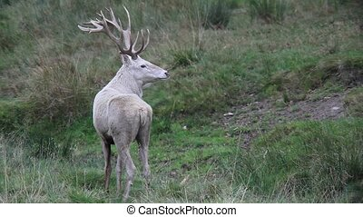 white red deer