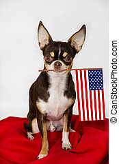 Pround chihuahua with american flag. - Pround chihuahua with...