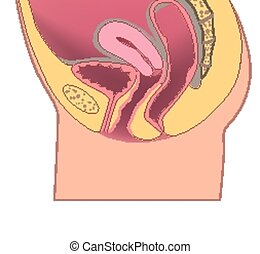 female reproductive organ