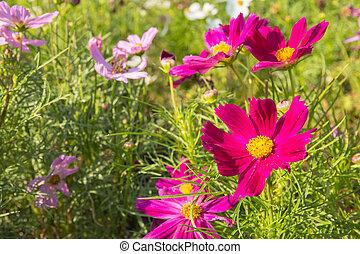 C.sulphureus Cav. or Sulfur Cosmos, flower in garden