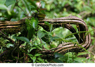 Costa Rican Anaconda Vine - This was explained to us as an...