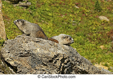 Pair of Hoary Marmots on a Rock - Pair of Hoary Marmots...