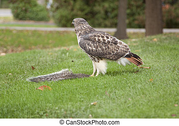 red tail hawk feeding on prey - a red tail hawk has caught a...