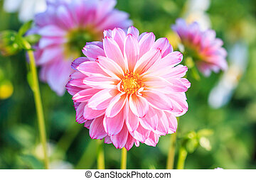 coloridos, Dahlia, flower, ,