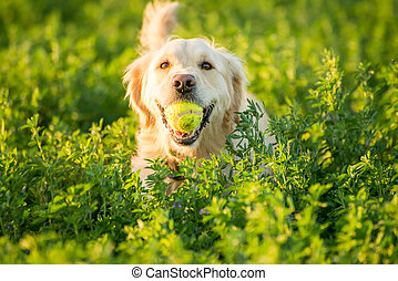 Golden Retriever Fetching the Ball - A Golden Retrievers...