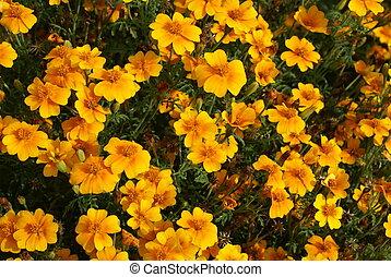 marigolds. Tagetes - Tagetes patula flowers