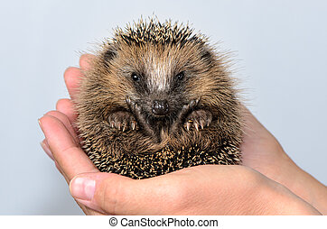 Hedgehog baby in hands - Two hands form a shell in which a...