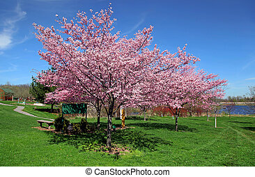 Cherry blossom on trees in spring time