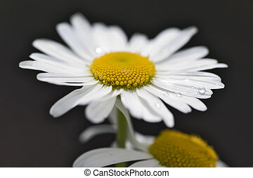 Purity of camomile