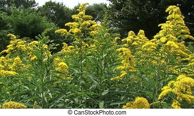 Solidago canadensis, Canada goldenrod with honeybees - wide...