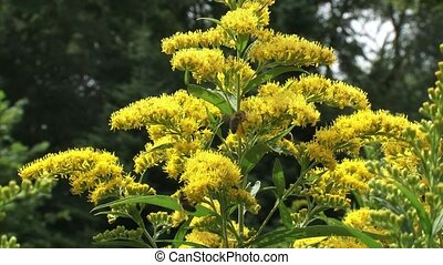 Solidago canadensis, Canada goldenrod with honeybees -...