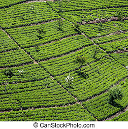green tea plantation in Sri Lanka near Nuwara Eliya