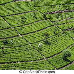 green tea plantation in Sri Lanka near Nuwara Eliya