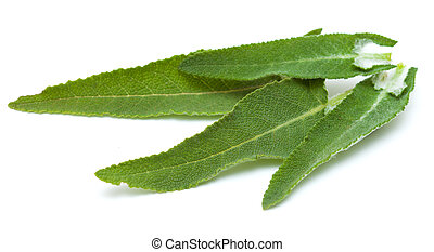 Salvia canariensis, canarian sage, leaves isolated on white...