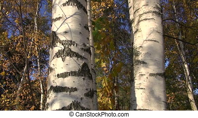 golden autumn fall birch tree trunk in forest