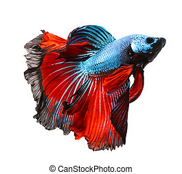 siamese fighting fish, betta isolated on white background.