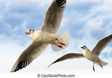Seagull in flight with prey and pursuer