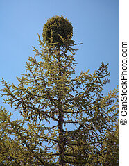 witch-brooms disease - witches\'-broom on the Larix sibirica