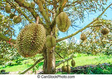 Durian Tropical fruits thailand