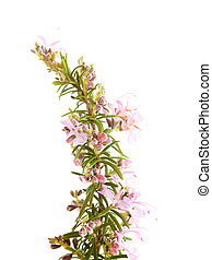 flowering twig of rosemary isolated on white background