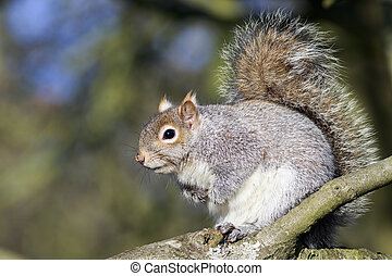 Grey Squirrel Sciurus carolinensis perched in a tree